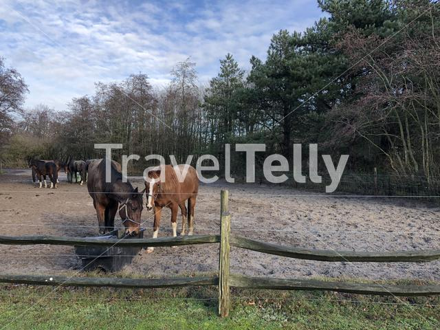 Horses on Texel island in The Netherlands