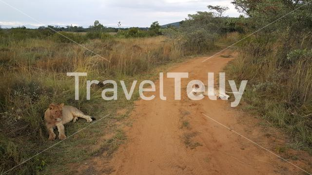Lions laying on the road of Entabeni Nature Reserve in South Africa