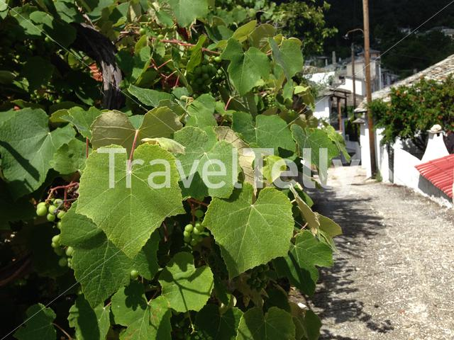 Grapes in the village of Panagia at Thassos Greece