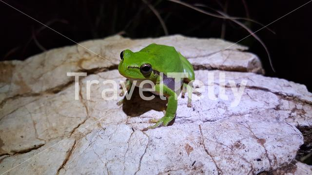 The green tree frog at night in Greece