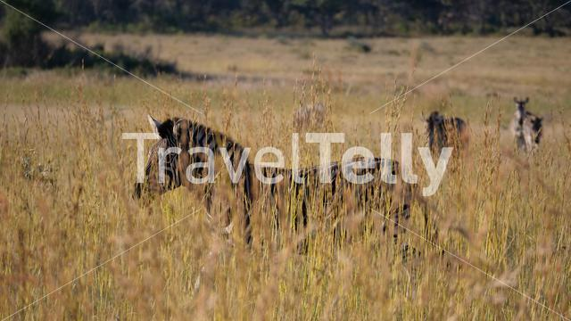 Zebra between the grass in the Pilanesberg Game Reserve South Africa