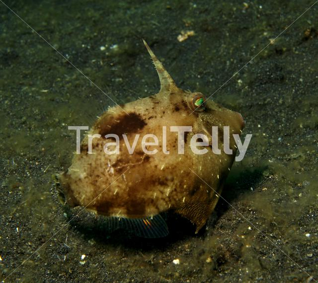 Seagrass filefish in Lembeh Sulawesi Indonesia