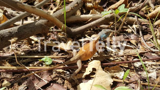 Agama lizard in the forest in The Gambia