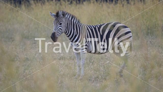 Lonely zebra in Pilanesberg Game Reserve South Africa