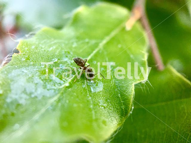 Ant on wet green leaf