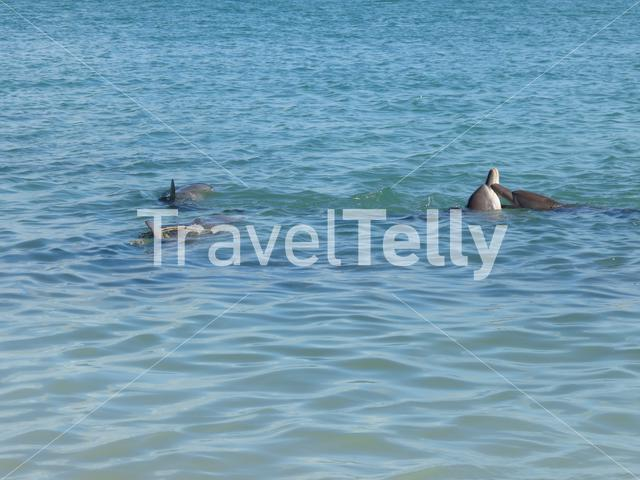 Dolphins in Monkey Mia Shark Bay Western Australia