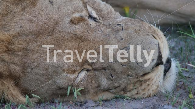 Extreem close up from Male lion at Central Kalahari Game Reserve in Botswana