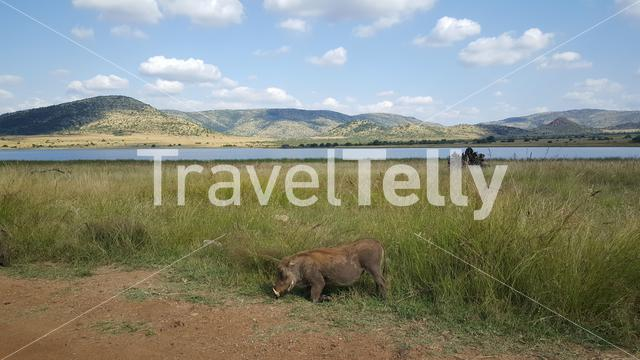 Warthog eating grass in Pilanesberg National Park South Africa