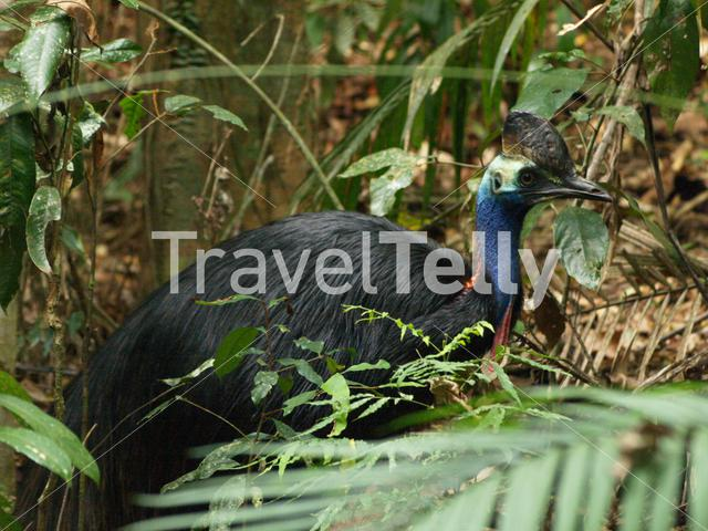 Cassowary at Daintree National Park in Australia