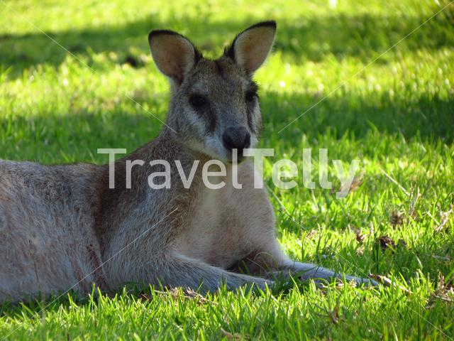 Wallaby laying in the grass in mission beach Queensland Australia