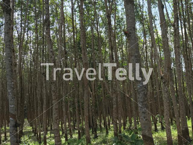 Rubber trees on Koh Chang Thailand