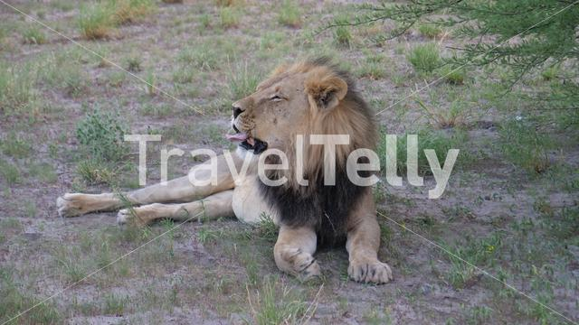 Male lion sticks out its tongue at Central Kalahari Game Reserve in Botswana