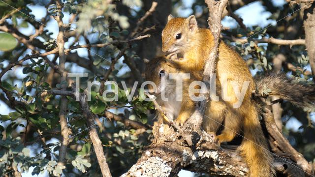 Two African bush squirrels in a tree in Pilanesberg Game Reserve South Africa