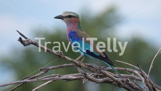 Lilac-breasted roller on a branch