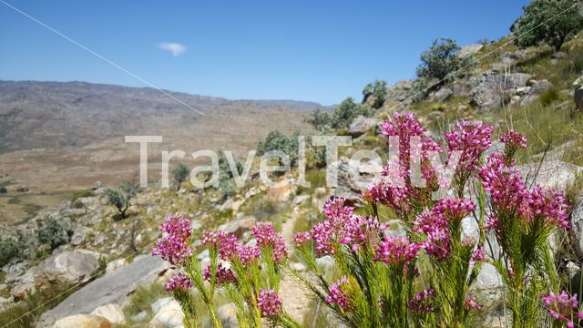 Pink flowers at Cederberg Wilderness Area in South Africa
