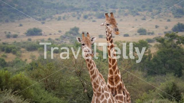 Two giraffe at the Pilanesberg National Park Game Reserve South Africa