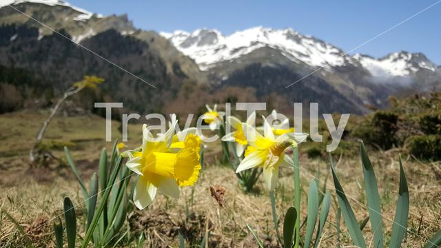 Yellow narcis in the mountains