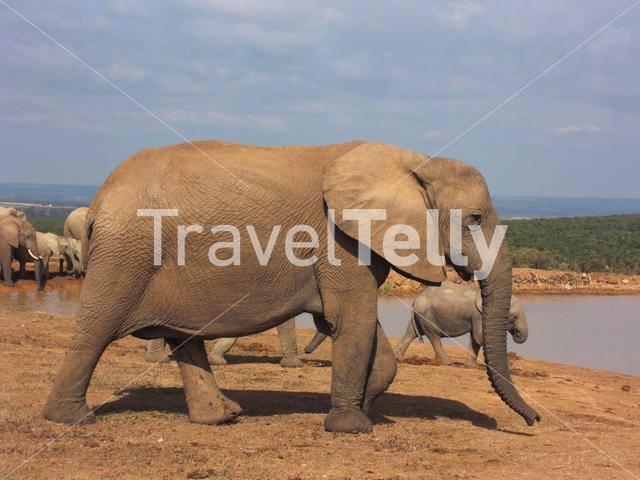 Elephants at the water pool in Addo Elephants National Park South Africa
