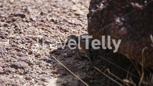 Black-necked Agama next to a rock around the Gambia river, Africa