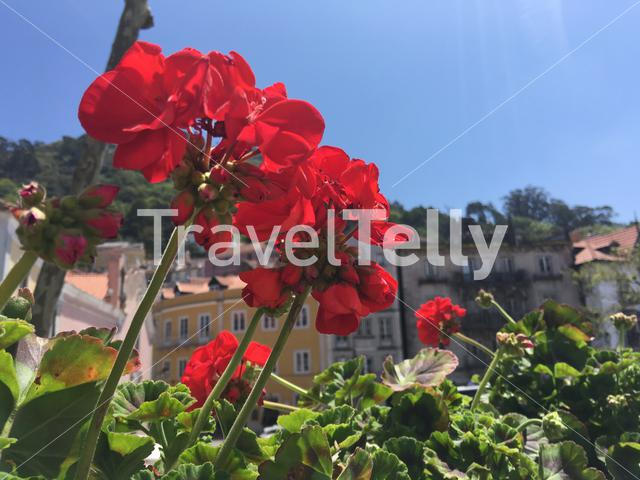 Red flowers in Sintra town Portugal