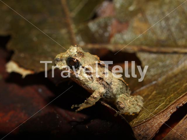Rain frog in Corcovado National Park