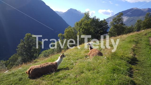 Lamas at geiranger national park Norway