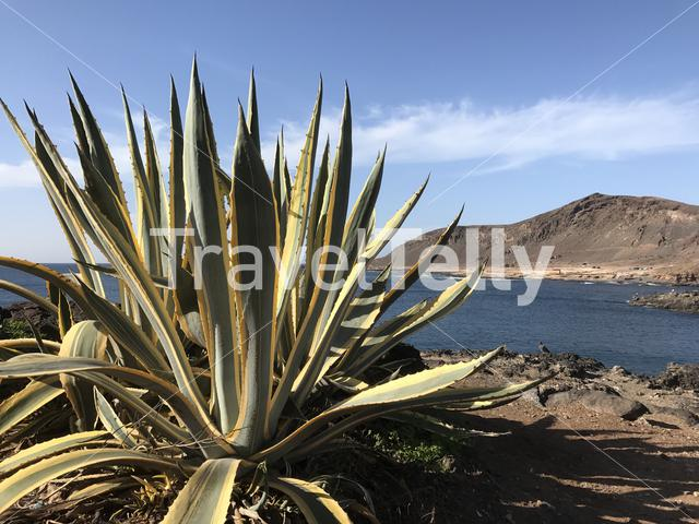 Cactus in front of Confital at La Isleta in Las Palmas Gran Canaria