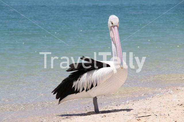 Pelican in Monkey Mia Shark Bay Western Australia
