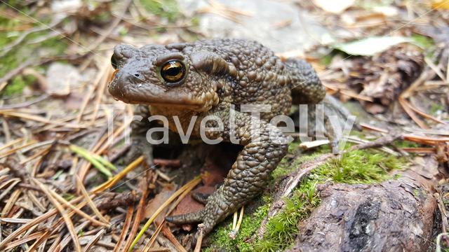 Common toad in Koivusuo Strict Nature Reserve Finland