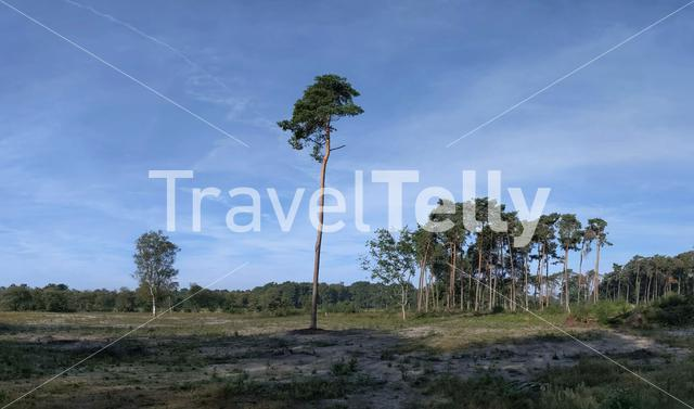Lonely tree in the forest at a nature reserve around Den Ham, Overijssel, The Netherlands