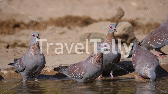 Group of speckled pigeons drinking water from a pond in Africa