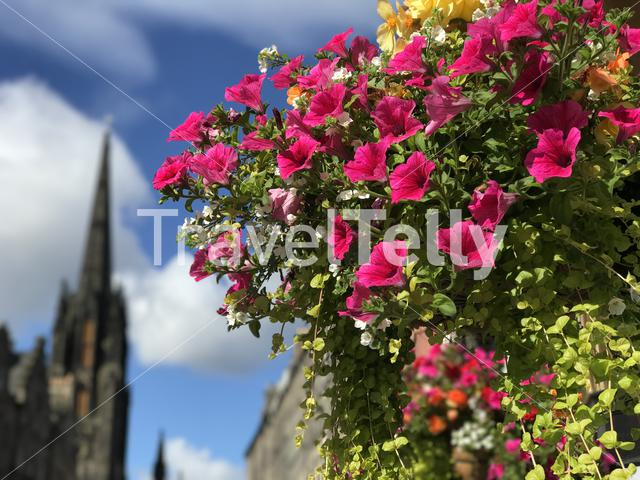Colorful flowers with the The Hub, Assembly Hall in the background in Edinburgh, Scotland