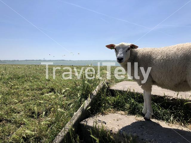 Sheep on a dike near Hinderloopen The Netherlands