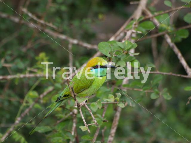 Bee-eater in Yala Strict Nature Reserve Sri Lanka