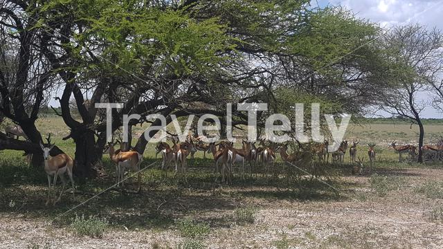Antelopes at the Savannah in Central Kalahari Game Reserve in Botswana