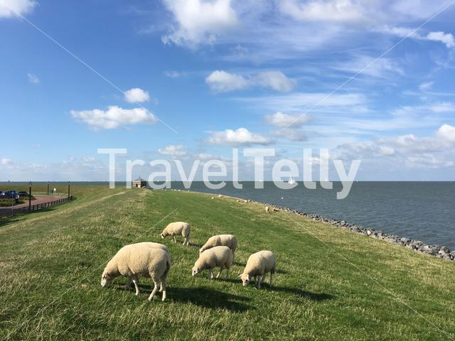 Sheep eating grass on a dike in Hindeloopen The Netherlands