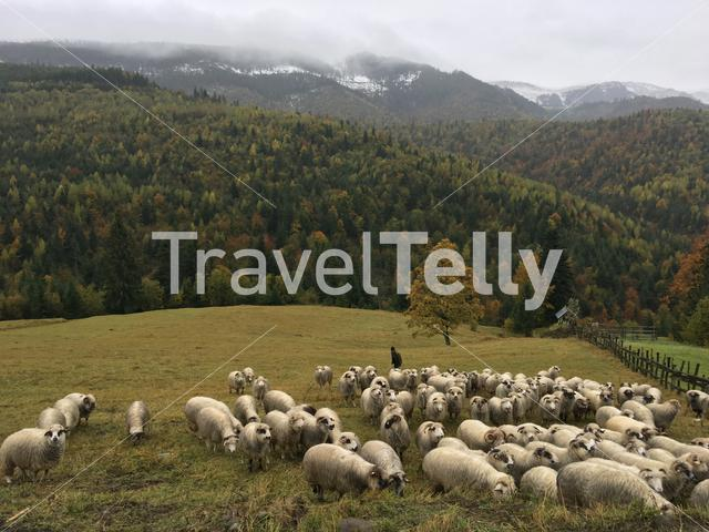 Group of sheeps in the hills around Statiunea Borsa in Romania
