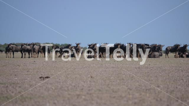 Herd of wildebeest on the savanna in Central Kalahari Game Reserve in Botswana