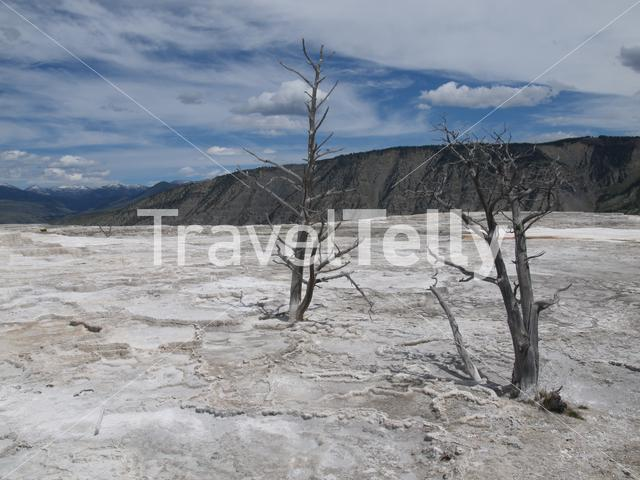 Death trees in Yellowstone National Park