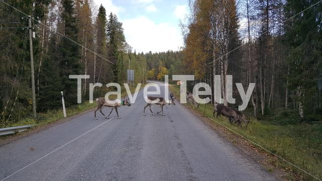 Reindeer crossing the road in Oulanka National Park Finland