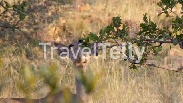 Impala eating from a bush in Pilanesberg National Park & Game Reserve South Africa