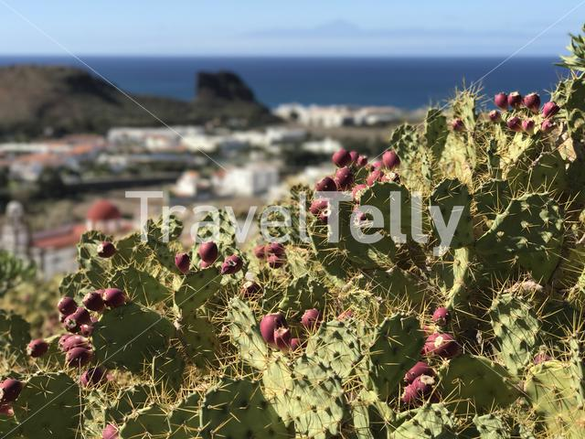 Cactus with Agaete in the background at Gran Canaria Canary Islands Spain