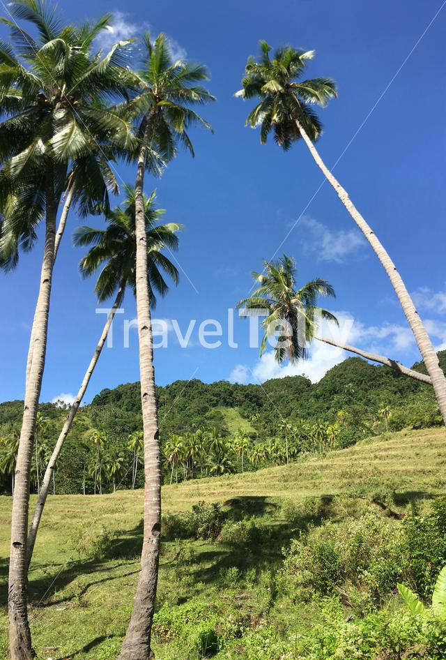 Rice field with palmtrees in the hills of Anda Bohol the Philippines