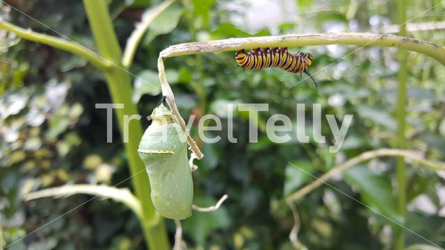 Caterpillar with a cocon