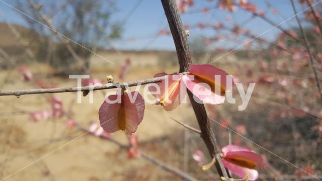 Pink flowers in Reserva de Namibe, Angola