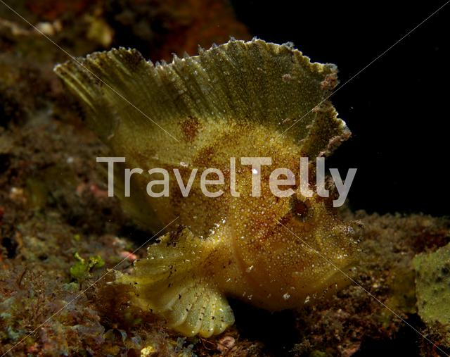 Leaf scorpion fish in Lembeh Sulawesi Indonesia