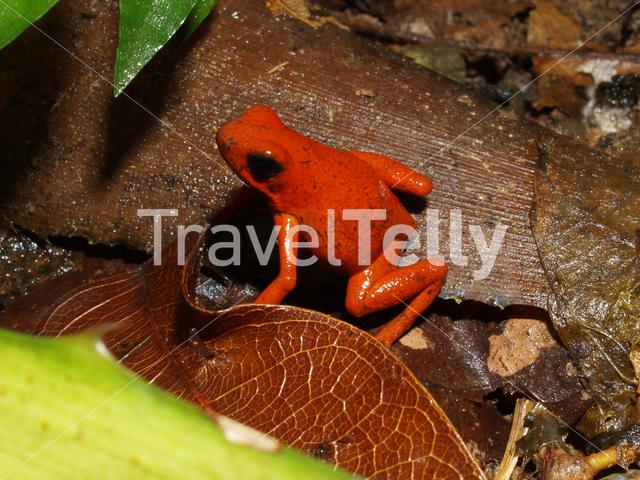 Strawberry poison frog in Talamanca National Park Costa Rica