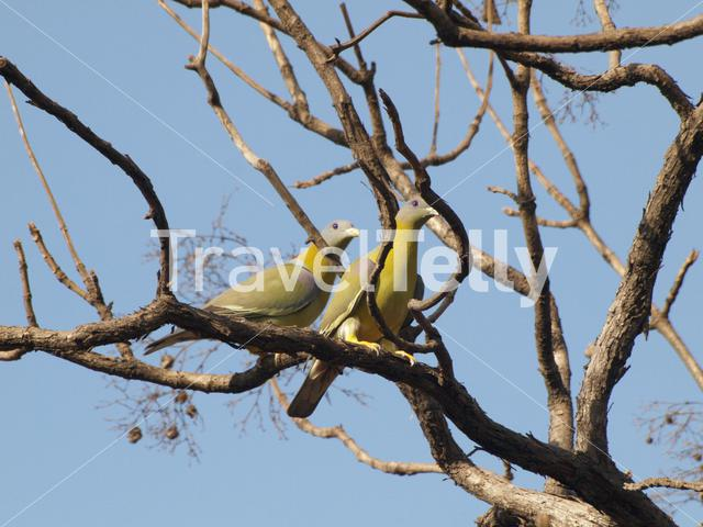 Yellow-footed green pigeon at Gir National Park India