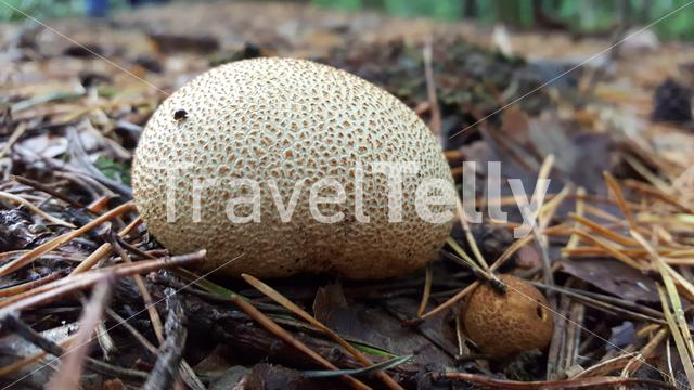 Another mushroom at the Veluwe