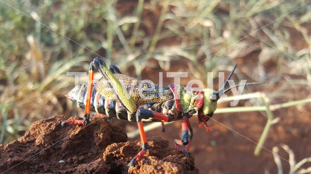 African grasshopper on a rock at Pilanesberg in South Africa